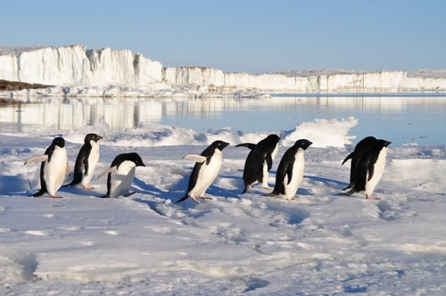 ペンギン歩く