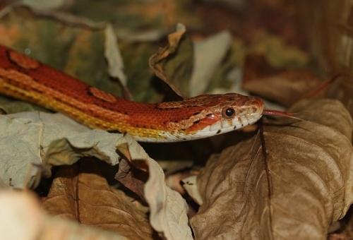corn-snake-552642_640