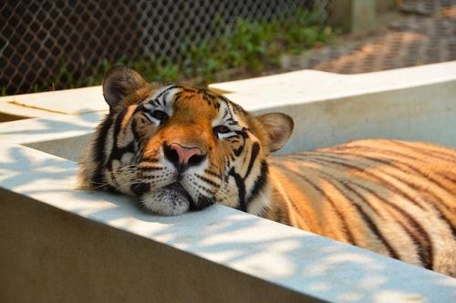 tiger-1343387_640