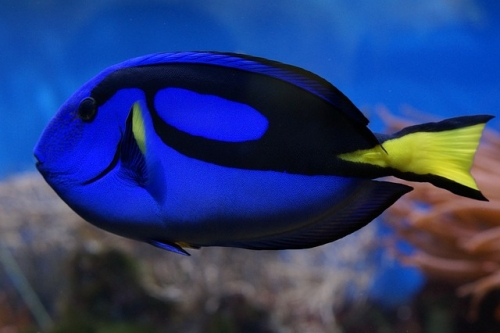 palette-surgeonfish-793369_640