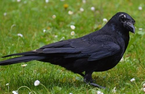 crow-767415_640